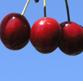 three cherries hanging from a branch