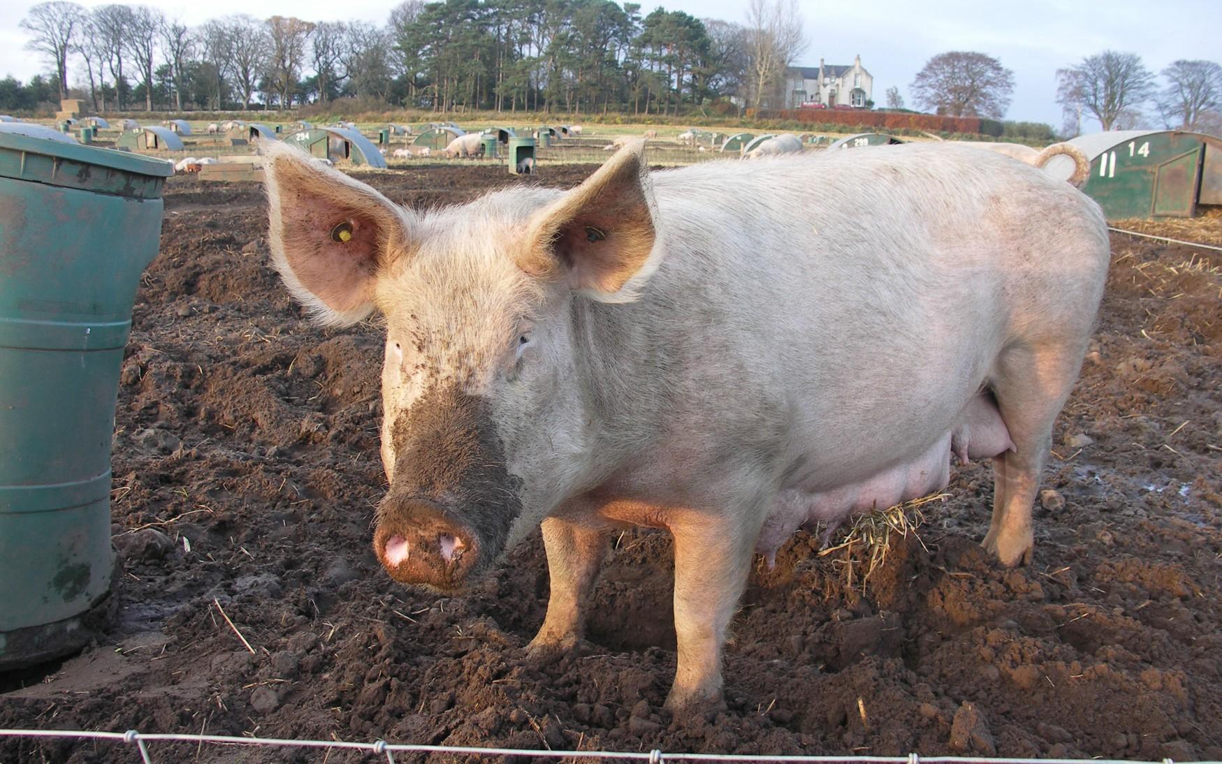 ачс, мясо, свинина, цены