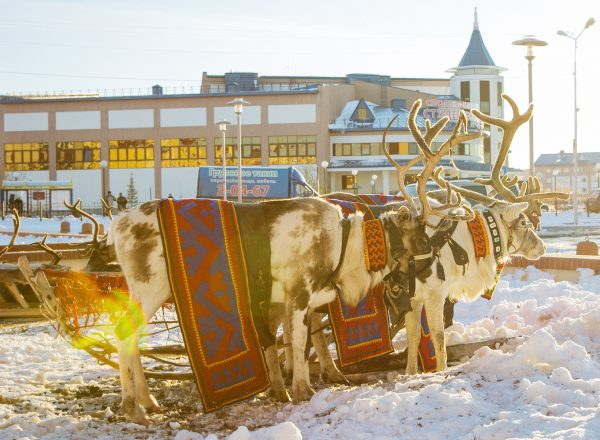 Approved photo: the setting Arctic sunlight gives a yellowish tint to several reindeer stationed outside the Forum conference hall. Yamal has the world's largest concentration of reindeer. These may have been too old for the trail — or resting up prior to seasonal work for Santa. VOA Photo: Vera Undritz