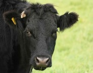 Cow photo Colin Brough freeimages