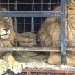 lions born free