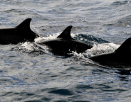 640px-Three_dolphins photo oytun 73-crop