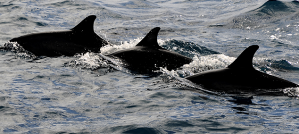 640px-Three_dolphins photo oytun 73-crop